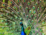 peacock-188328_640